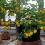 How to grow a lemon tree from seed at home