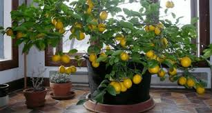 Photo of How to grow a lemon tree from seed at home