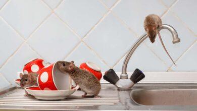 Photo of Natural Remedies to Kill Rats