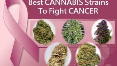 Photo of Ten best marijuana strains for cancer treatment in Ohio