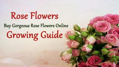 Photo of Buy Gorgeous Rose Flowers Online– Growing Guide
