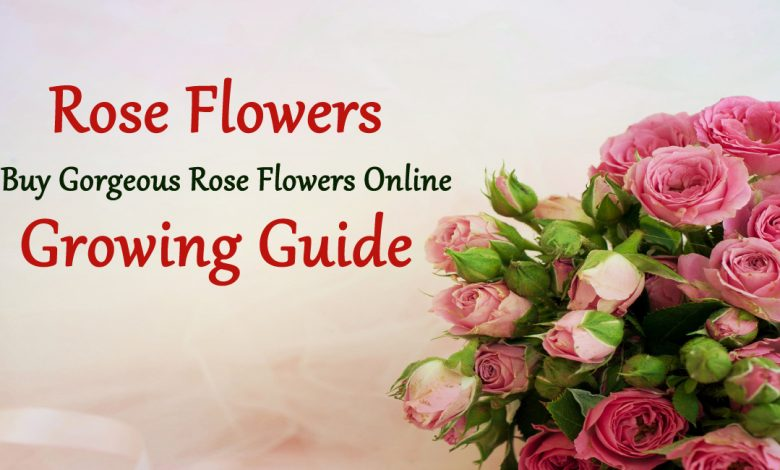 types of roses- Buy Gorgeous Rose Flowers Online – Growing Guide